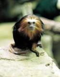 16_lion_head_monkey_1.JPG