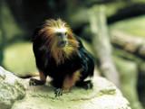 18_lion_head_monkey_2.JPG