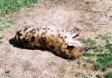 013_hyena_nap.JPG