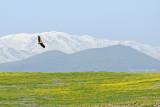 Griffon Vulture - נשר מקראי - Gyps fulvus