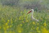 White Stork - חסידה לבנה - Ciconia ciconia