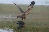 Marsh Harrier - זרון סוף - Circus aeruginosus
