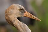 Common Crane - עגור אפור - Grus grus