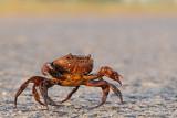 Freshwater crab - סרטן הנחלים - Potamon potamios