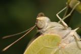 African Migrant - לבנין כאסיה - Catopsilia florella