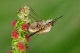 Bee-Fly - בומביל - Bombylius