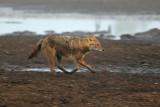 Golden Jackal - תן זהוב - Canis aureus