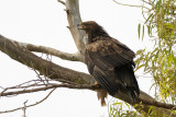 Greater Spotted Eagle - עיט צפרדעים - Aquila clanga