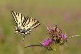 Southern Swallowtail - ז.ס. מכבים - Papilio alexanor