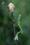 Mantis - גמל שלמה ירוק - Sphodromantis viridis