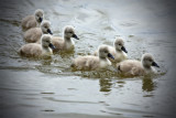 Cygnets at Hever