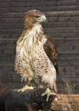 Red-Tailed Hawk_2147.jpg