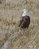 Bald Eagle Lincoln County