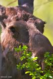 Moose at NWR