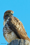 Montana Red Tail Hawk
