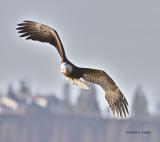 Coeur dAlene Eagle