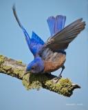 Western Blue Bird Turnbull NWR