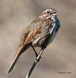 Song Sparrow Turnbull NWR