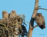 GREAT HORNED OWL'S NEST