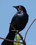 Brewer's Black Bird
