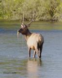 Elk Western Montana