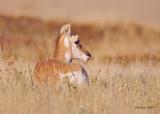 Antelope Western Montana