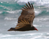 Turkey Vulture Morro Bay CA