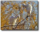 Gilbert, AZ : Roosting Egret