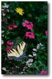 Vivid Butterfly : AZ