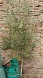 6461 - Olive Tree.jpg