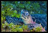 Sleeping Turtle with algae covering the reef