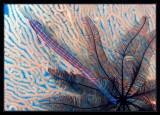 Trumpetfish, Crinoid, and Fan