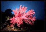 Soft Coral with sun glow
