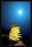 Sun with yellow crinoid