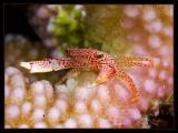 Crab climbing the coral