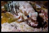 Foursaddle Grouper