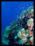 Goldie's swarming the reef