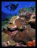 Rick and Orange-Finned Anemonefish
