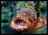 Open Wide, Spotted Scorpionfish