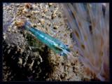 Tourquoise Shrimp