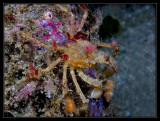 Decorator Crab hanging out on a big shell