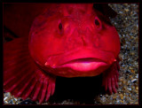 Big Red  (Red Cabezon)