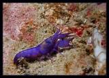 Urchin Shrimp