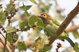 Brown headed Barbet (Megalaima zeylanica)