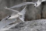 Black-naped Tern ( Sterna sumatrana )