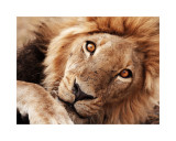 Lion's glance