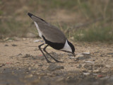 Spur-winged Plover (Vanellus spinosus)