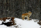 coyote 316_IMG_5439-web1.jpg