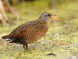 rale_de_virginie__virginia_rail