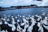 Swans in Galway City